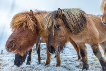 Icelandic Horse In Paddock