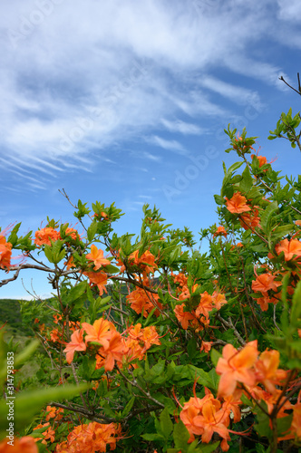 Orange Flame Azalea bloom in the Smoky Mountains