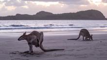 Wallabies Feeding On The Beach...