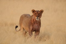Lion Pride Lioness After Hunt