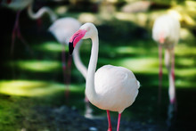 Close Up Of Greater Flamingo In The Zoo