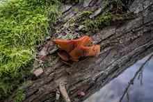 Yellow Mushrooms Growing On An Old Tree Stub