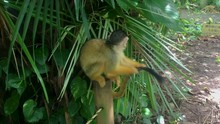 A Cute Black Capped Squirrel Monkey Scratching Its Tail
