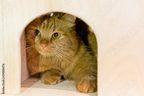 Obraz red funny cat sitting in a wooden house. your favorite place for a pet cat. handmade kennel for cats - fototapety do salonu