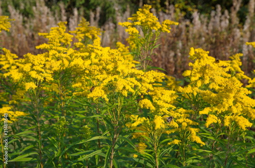 Goldenrod canadian (lat. Solidago canadensis) blooms in a meadow Canvas Print