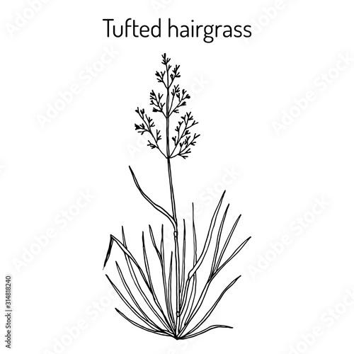Fototapeta Tufted hairgrass Deschampsia cespitosa , or tussock grass, medicinal plant