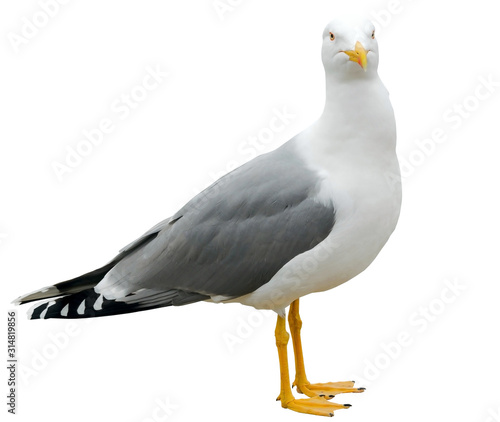 Fotografia White and grey seagull isolated on white