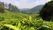 Tea Leaves in morning with Beautiful view of Tea Plantations in Background