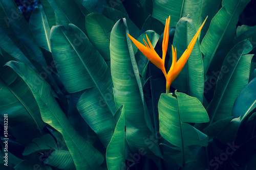 Obraz tropical leaves colorful flower on dark tropical foliage nature background dark green foliage nature - fototapety do salonu