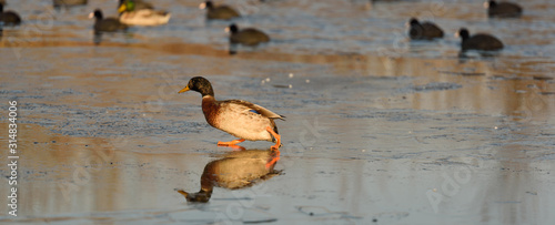 Wild duck and coots on ice on frozen lake in winter Canvas Print