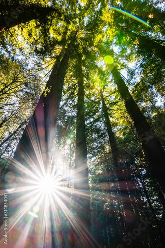 Sun shining through a Redwood trees forest (Sequoia Sempervirens), Santa Cruz mountains, San Francisco bay area, California