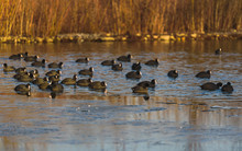 Group Of Coots On Ice On Frozen Lake In Winter. Dam On River Mur In Gralla, Stausee