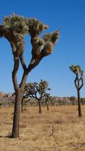 Joshua Trees In The Desert Of ...