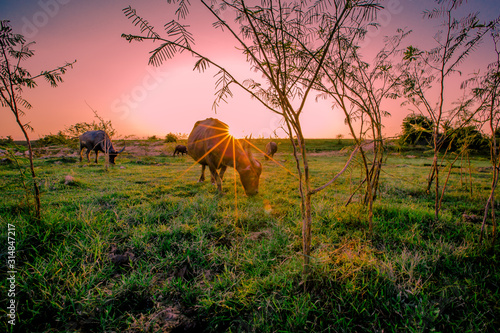 The blurred abstract background of the evening light and the buffalo eating animals along the rice fields, the wind blows cool during the day Wallpaper Mural