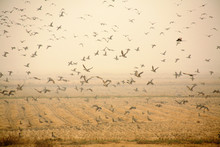 Migratory Birds In Autumn Fields