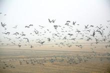 Migratory Birds In Autumn Fields