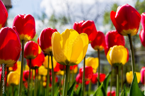 Fototapety, obrazy: Red and yellow tulips.