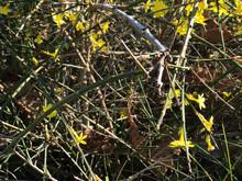 Blooming Bush Of Small Yellow ...