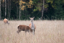 Two Girlfriends Deer Meet The Dawn In A Forest Glade