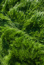 Lush Green Summer Grass Full F...