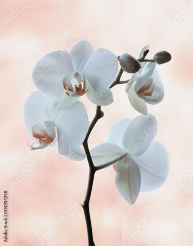 Fototapeta Biała Orchidea obraz