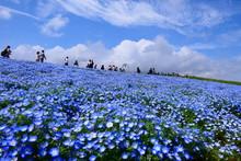 観光客で賑わうネモフィラの丘。国営ひたち海浜公園。ひたちなか、茨城、日本。4月下旬。