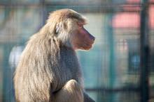 Baboon Monkeys In A Zoo On Sun...