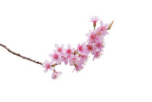 Sakura Flowers, A Bunch Of Wild Himalayan Cherry Blossom Pink Flowers With Young Leaves Budding On Tree Twig Isolated On White Background With Clipping Path.
