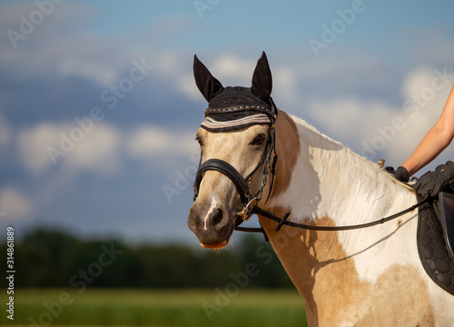 Fototapeta Horse piebald leisure head portraits landscape format with bridle ear cap under the rider photographed outdoors against a blue sky in summer.. obraz