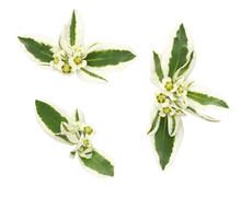 Set Of Euphorbia Marginata Flo...