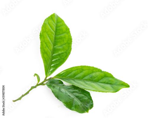 Fototapeta Studio shot organic green tea leaves branch isolated on white obraz
