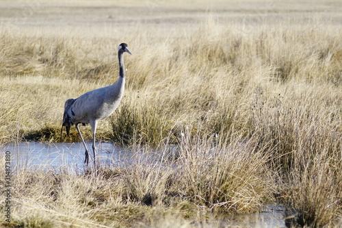 Fotografia common crane bello gallocanta