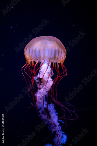 Photo jellyfish