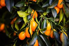 Citrus Tree Close Up View - Le...