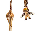 Fototapeta Zwierzęta - Fun cute upside down portrait of giraffe on white