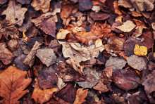 Natural Background With Texture Of Old Half Decayed Brown Leaves Lie Fallen And Withered On The Ground In The Autumn Garden