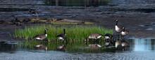 Flock Of Canada Geese In Delaware