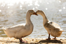 Two Dirty White Ducks Stand Next To A Pond Or Lake With Bokeh Background. Male And Female Duck Is In The Breeding Season In The Rural Farm. Agriculture And Animal Farm Concept.