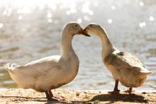 Two Dirty White Ducks Stand Ne...