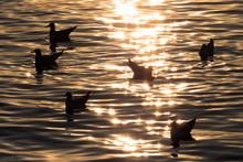 Silhouette Seagull Bird Swimmi...