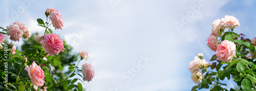 Fotografie, Obraz Wide web banner with roses