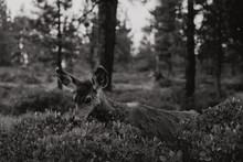 Biche Dans La Forêt