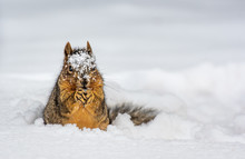 An Adorable Fox Squirrel Digging Up Food In The Snow
