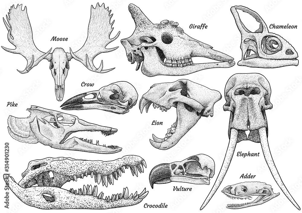 Fototapeta Animal skull collection, illustration, drawing, engraving, ink, line art, vector