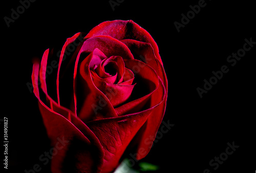 A Beautiful Red Rose Close Up