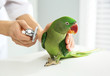 Veterinarian examining Alexandrine parakeet in clinic, closeup