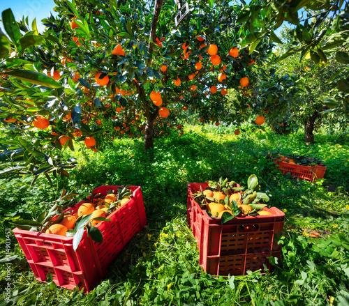 Fotografie, Tablou  Harvesting oranges in Sicily, Italy