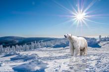 Eisbär In Einer Winterlandsch.