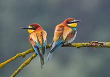Two Beautiful Bee Eater (Merop...