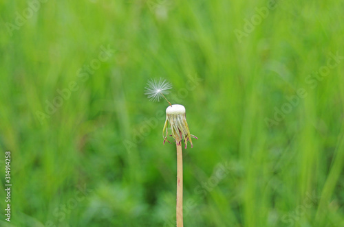 Zdmuchnięty dmuchawiec na tle trawy - 314914258